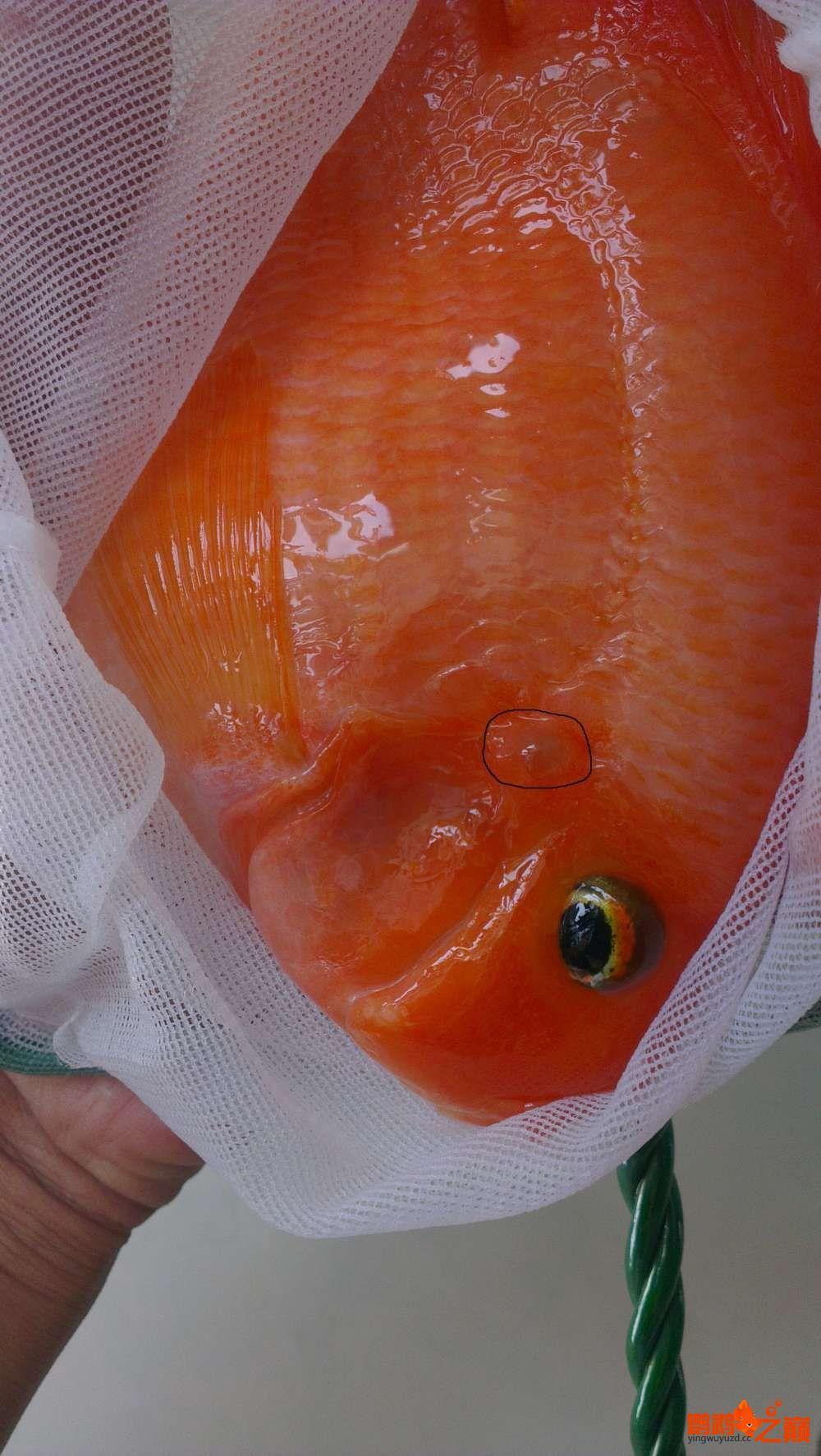 帮看看是头洞病吗? 北京观赏鱼 北京龙鱼第2张