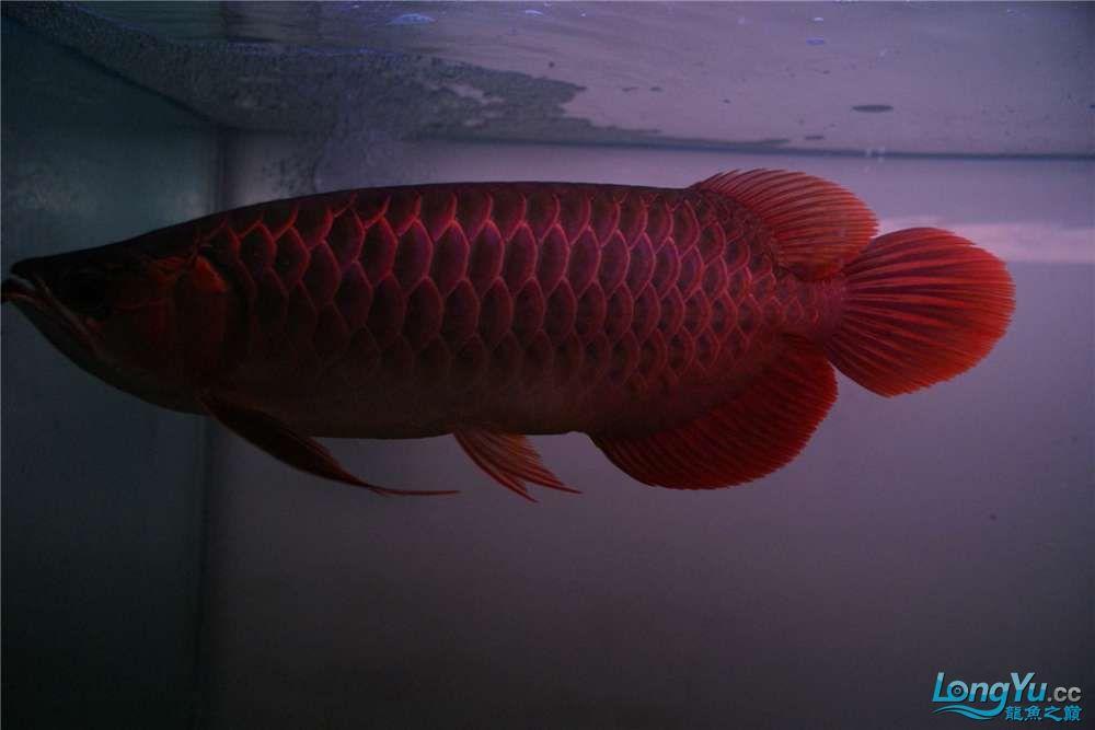{已售}索迪卡的VIP SUPER RED 36公分左右价格是:8600元 北京观赏鱼 北京龙鱼第3张