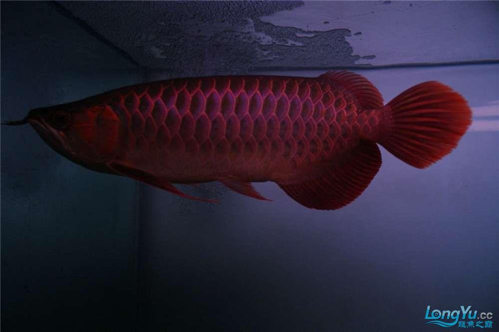 {已售}索迪卡的VIP SUPER RED 36公分左右价格是:8600元 北京观赏鱼 北京龙鱼第2张