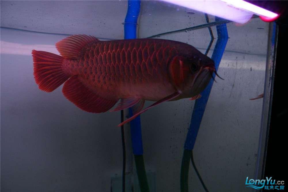 {已售}索迪卡的VIP SUPER RED 36公分左右价格是:8600元 北京观赏鱼 北京龙鱼第4张