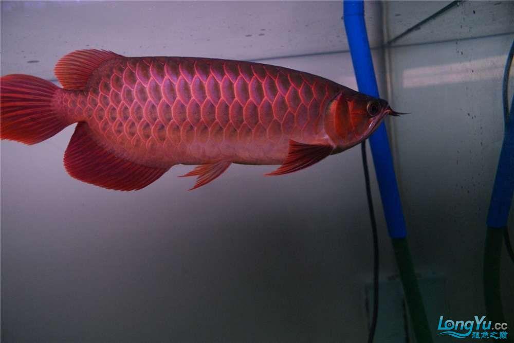 {已售}索迪卡的VIP SUPER RED 36公分左右价格是:8600元 北京观赏鱼 北京龙鱼第6张