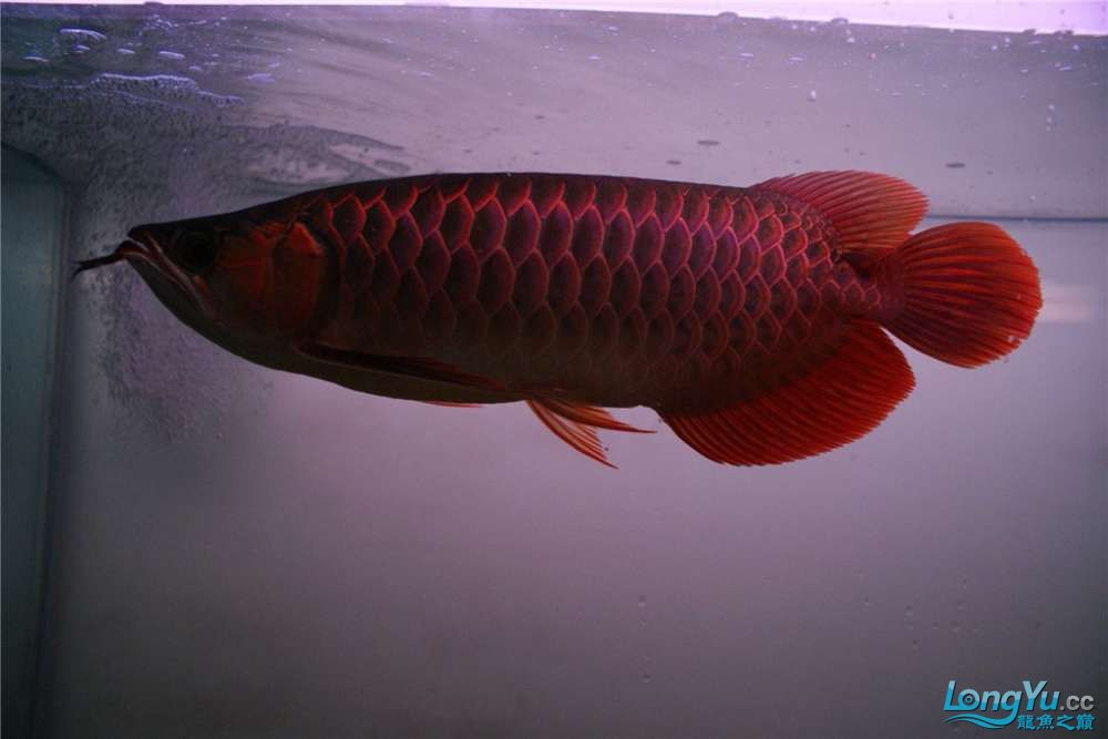 {已售}索迪卡的VIP SUPER RED 36公分左右价格是:8600元 北京观赏鱼 北京龙鱼第5张
