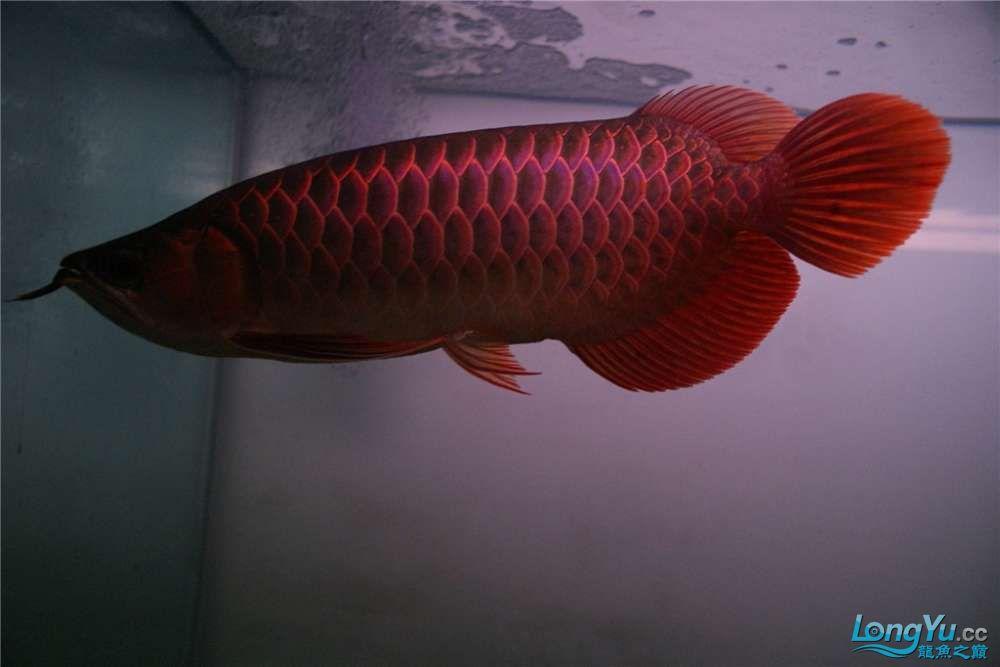 {已售}索迪卡的VIP SUPER RED 36公分左右价格是:8600元 北京观赏鱼 北京龙鱼第8张
