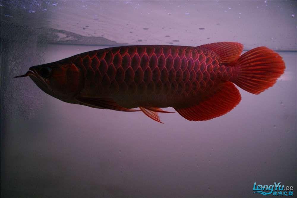 {已售}索迪卡的VIP SUPER RED 36公分左右价格是:8600元 北京观赏鱼 北京龙鱼第7张