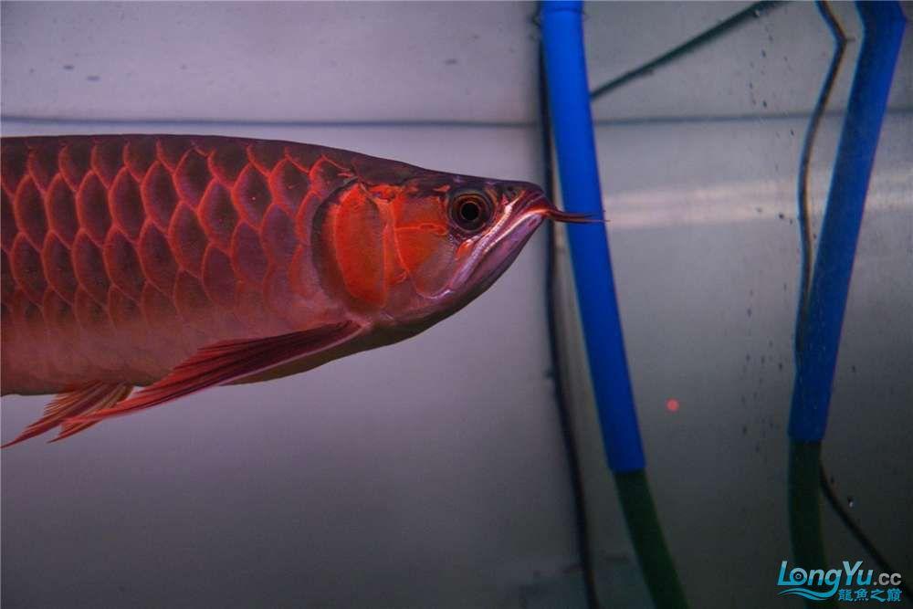 {已售}索迪卡的VIP SUPER RED 36公分左右价格是:8600元 北京观赏鱼 北京龙鱼第9张