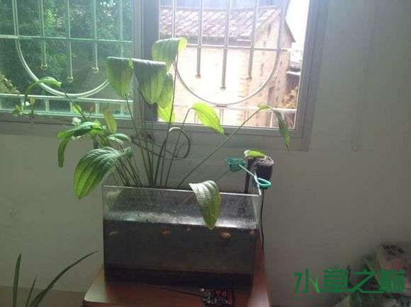 这是什么水草? 北京龙鱼论坛 北京龙鱼第3张