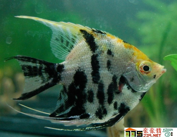 养了三年的星点 北京观赏鱼 北京龙鱼第2张