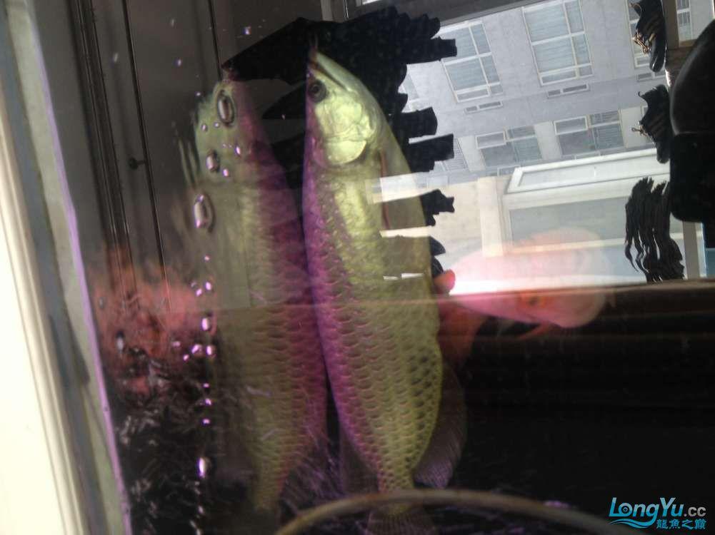 养了三年的星点 北京观赏鱼 北京龙鱼第1张
