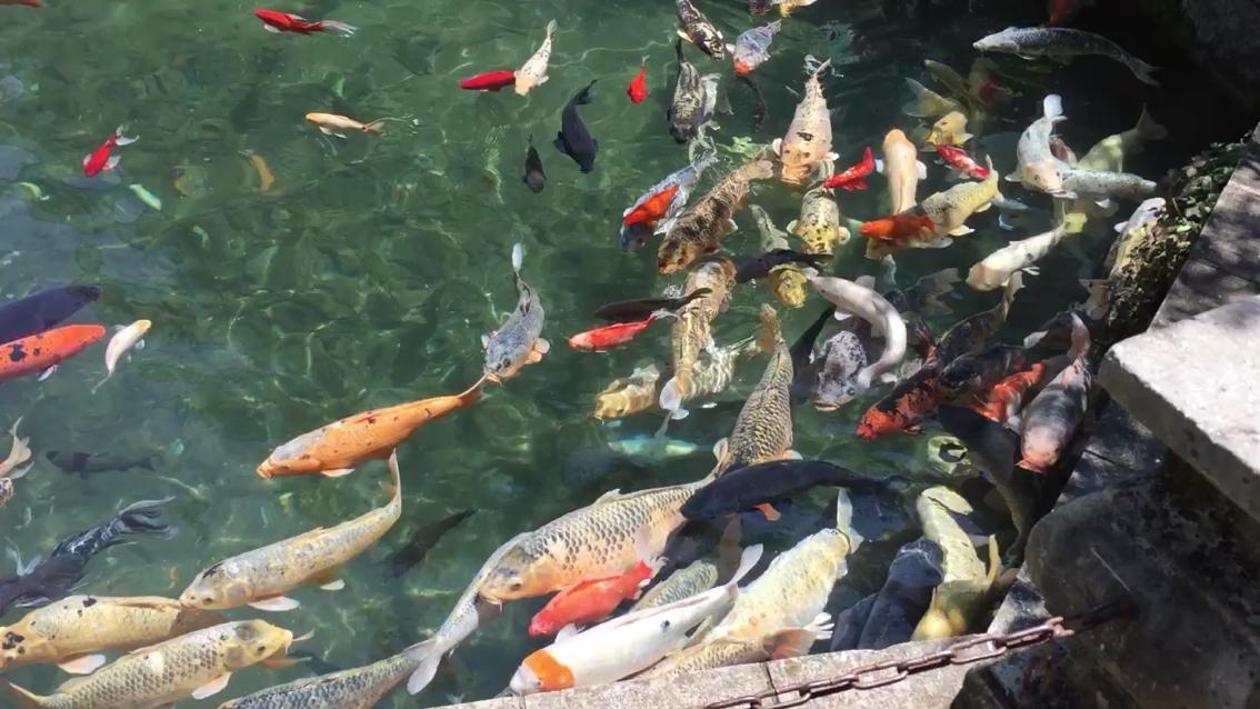 这个才叫水清鱼靓 北京观赏鱼 北京龙鱼第1张