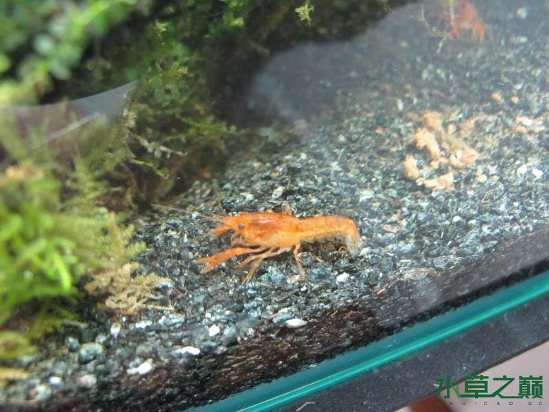 水陆缸虾蟹的天下 北京观赏鱼 北京龙鱼第8张