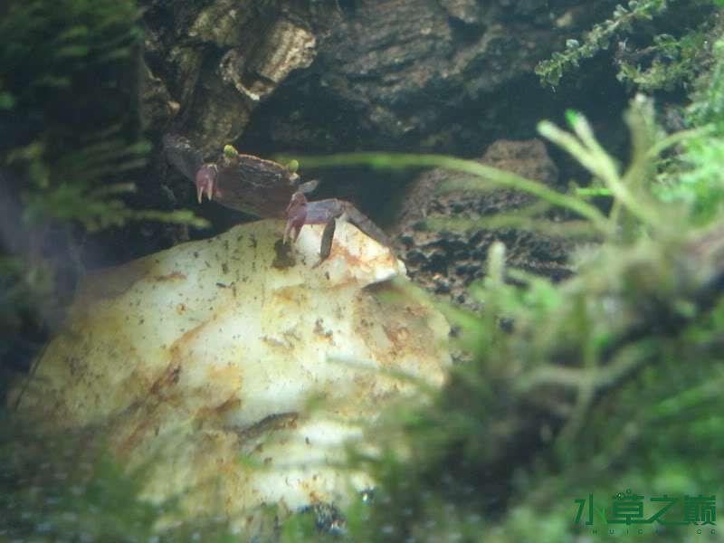 水陆缸虾蟹的天下 北京观赏鱼 北京龙鱼第15张