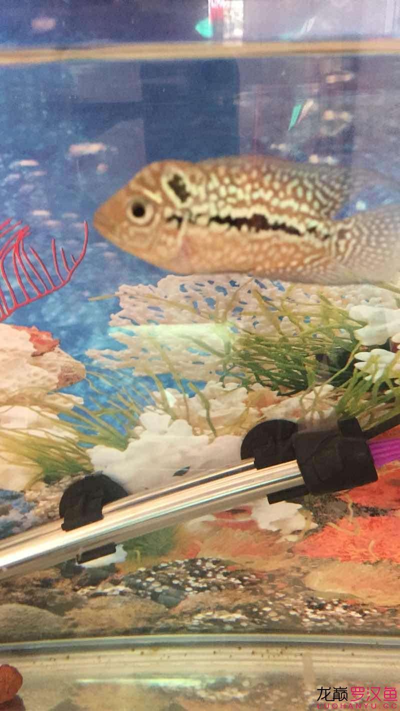 毒物小北京哪种关刀鱼最漂亮泰金 北京龙鱼论坛 北京龙鱼第3张