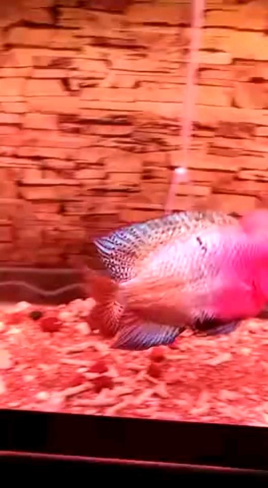 以前苗子养的 不知道现在 北京龙鱼论坛 北京龙鱼第1张
