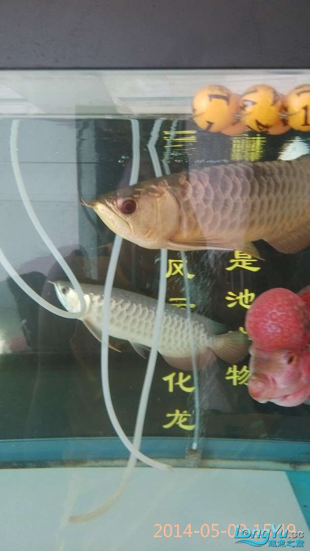 小过背给打了状态不行了 北京龙鱼论坛 北京龙鱼第4张