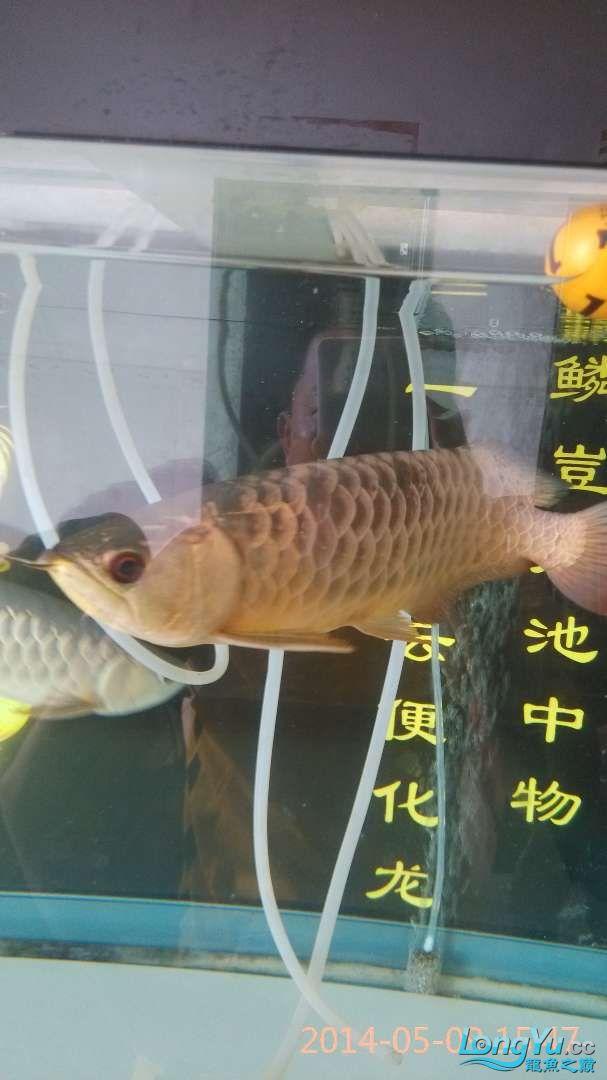 小过背给打了状态不行了 北京龙鱼论坛 北京龙鱼第7张