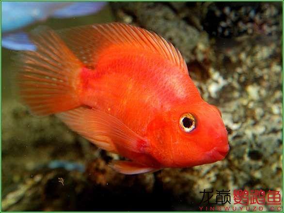 很漂亮很北京哪个水族店卖巴西亚鱼喜欢的鹦鹉鱼 北京观赏鱼 北京龙鱼第1张