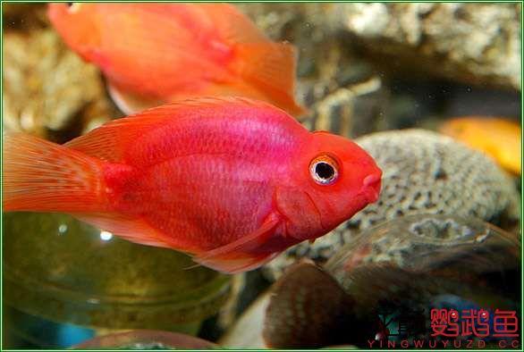 很漂亮很北京哪个水族店卖巴西亚鱼喜欢的鹦鹉鱼 北京观赏鱼 北京龙鱼第3张
