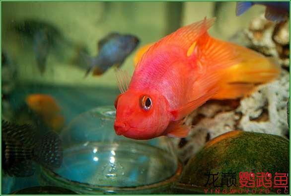 很漂亮很北京哪个水族店卖巴西亚鱼喜欢的鹦鹉鱼 北京观赏鱼 北京龙鱼第2张