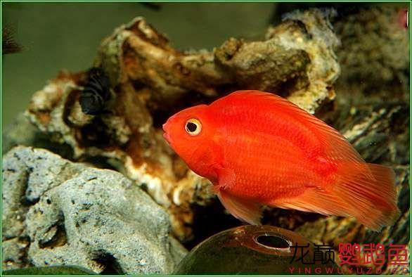 很漂亮很北京哪个水族店卖巴西亚鱼喜欢的鹦鹉鱼 北京观赏鱼 北京龙鱼第4张