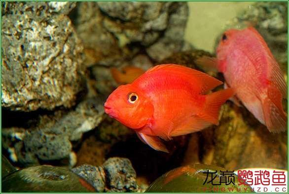 很漂亮很北京哪个水族店卖巴西亚鱼喜欢的鹦鹉鱼 北京观赏鱼 北京龙鱼第5张