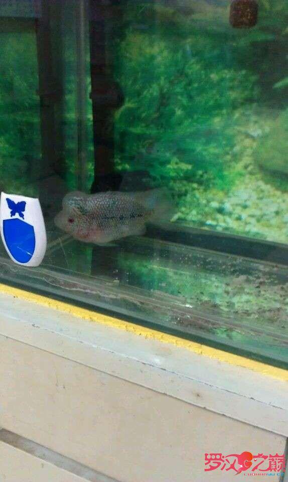 继续北京白化大白鲨哪个店的最上图 北京观赏鱼 北京龙鱼第6张