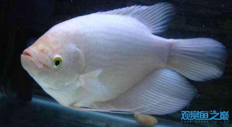 神像好养活不? 北京观赏鱼