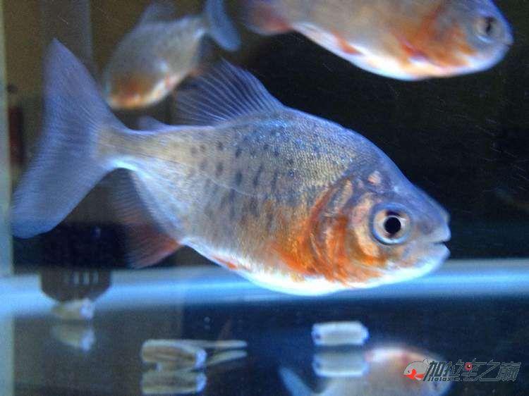 北京白子魟鱼求鉴定水虎还是白鲳还是什么鱼?