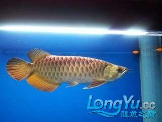 求助龙鱼开口 北京龙鱼论坛 北京龙鱼第1张