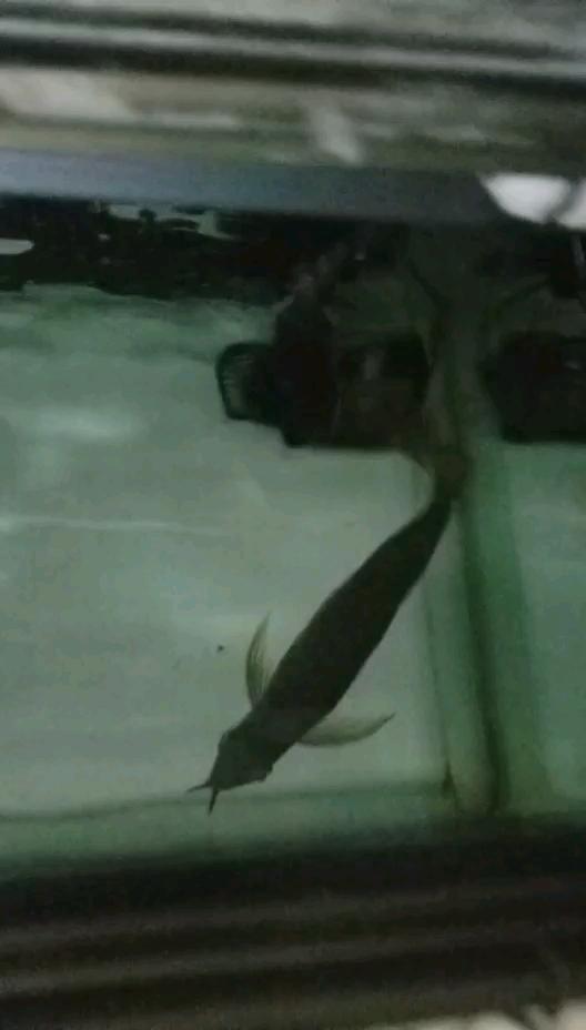 北京新闻网封缸两个月龙鱼 北京观赏鱼 北京龙鱼第1张