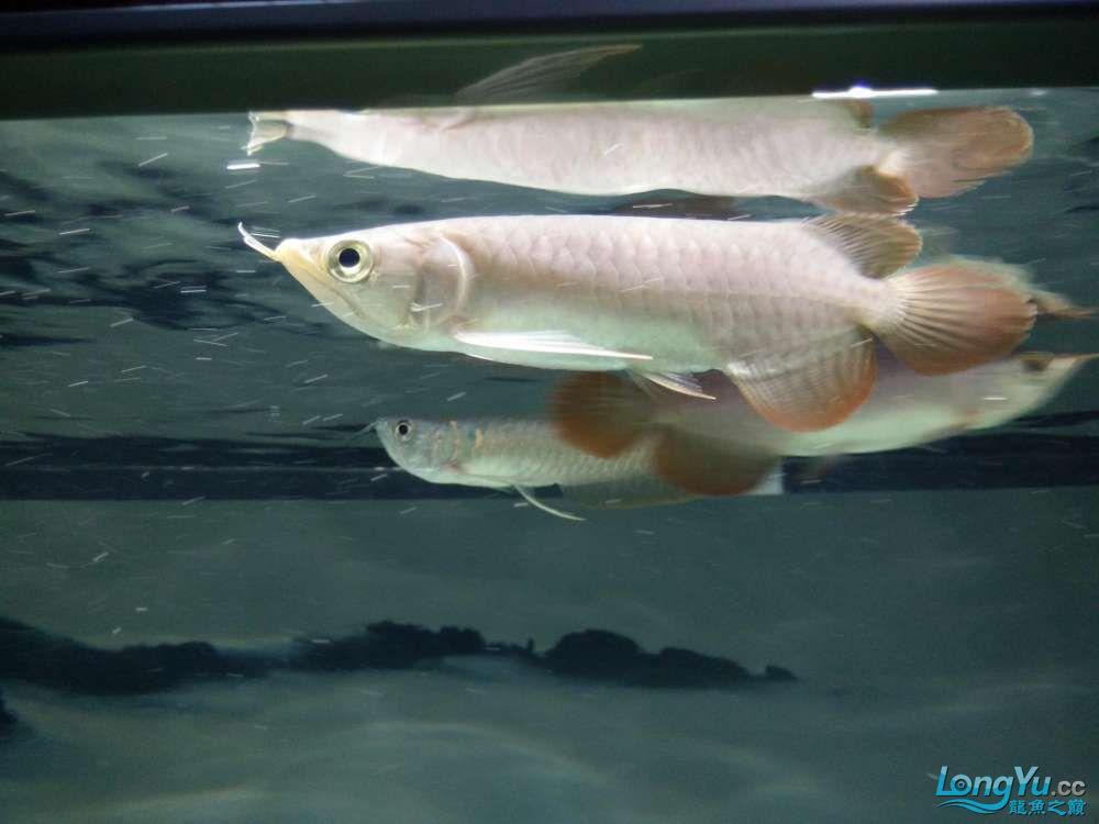 北京哪个水族店有大白鲨小小红龙的死亡过程