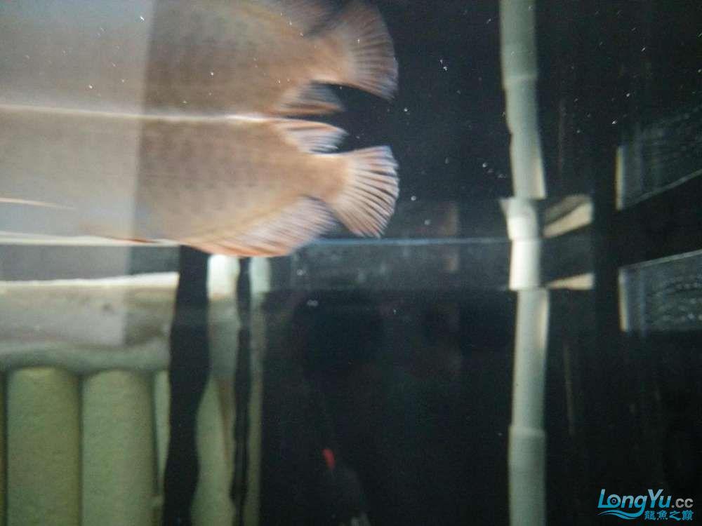 北京哪个水族店有大白鲨小小红龙的死亡过程 北京龙鱼论坛 北京龙鱼第5张
