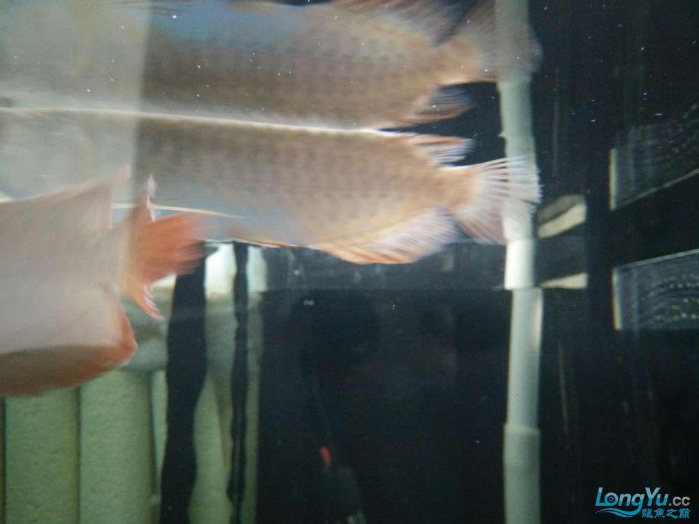 北京哪个水族店有大白鲨小小红龙的死亡过程 北京龙鱼论坛 北京龙鱼第4张
