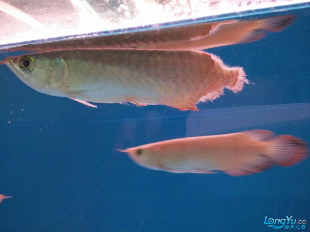 北京哪个水族店有大白鲨小小红龙的死亡过程 北京龙鱼论坛 北京龙鱼第6张