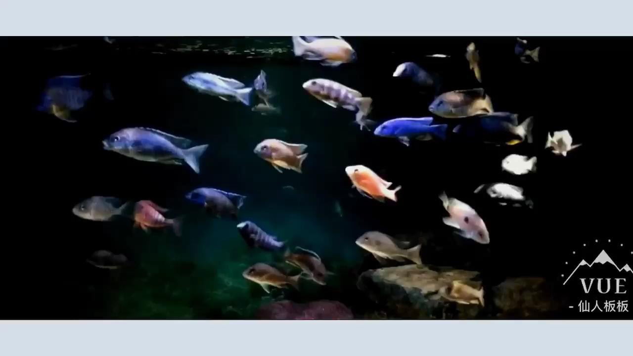 暗黑系三湖三湖慈鲷 北京观赏鱼 北京龙鱼第1张