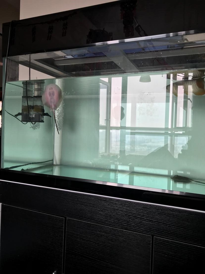 小虹一直在缸壁 北京观赏鱼 北京龙鱼第1张