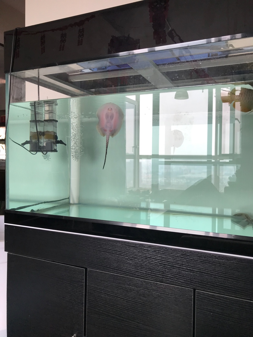 小虹一直在缸壁 北京观赏鱼 北京龙鱼第2张