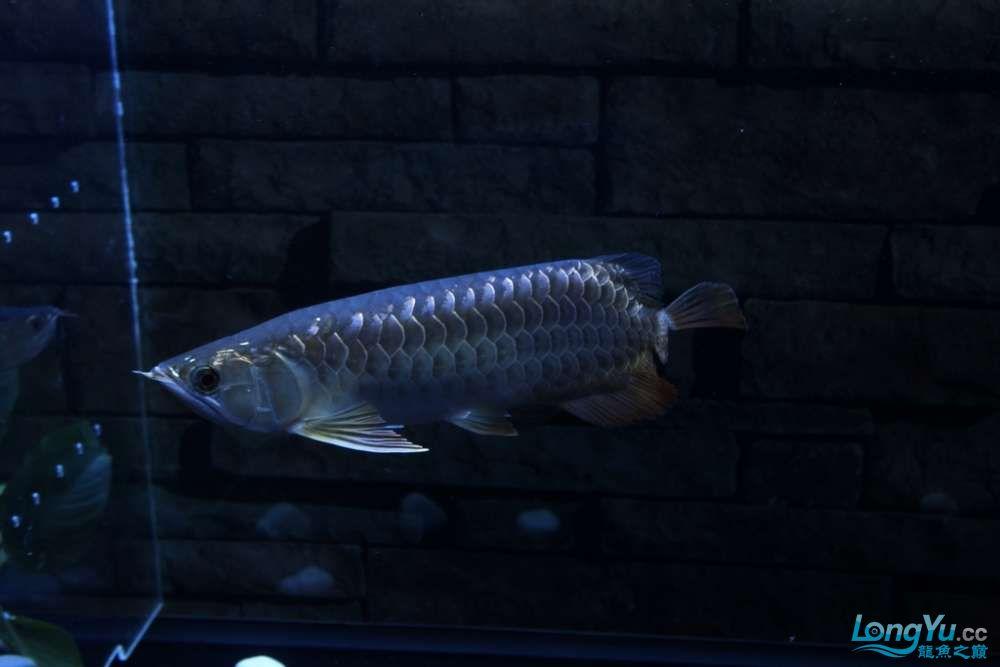 一不小心悲剧了43已开始恢复吃食凶狠状态良好 北京龙鱼论坛 北京龙鱼第1张