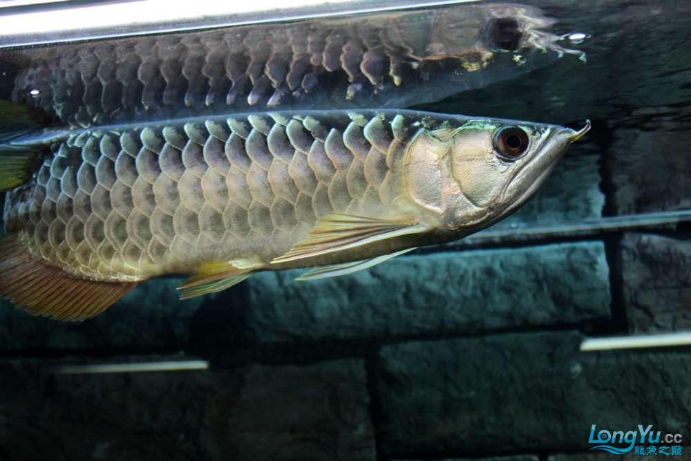 一不小心悲剧了43已开始恢复吃食凶狠状态良好 北京龙鱼论坛 北京龙鱼第3张
