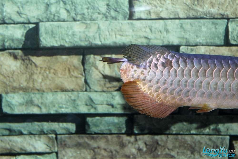 一不小心悲剧了43已开始恢复吃食凶狠状态良好 北京龙鱼论坛 北京龙鱼第2张