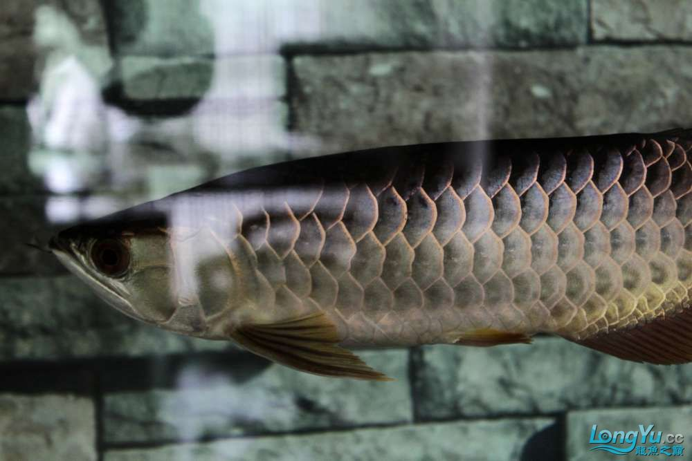 一不小心悲剧了43已开始恢复吃食凶狠状态良好 北京龙鱼论坛 北京龙鱼第6张