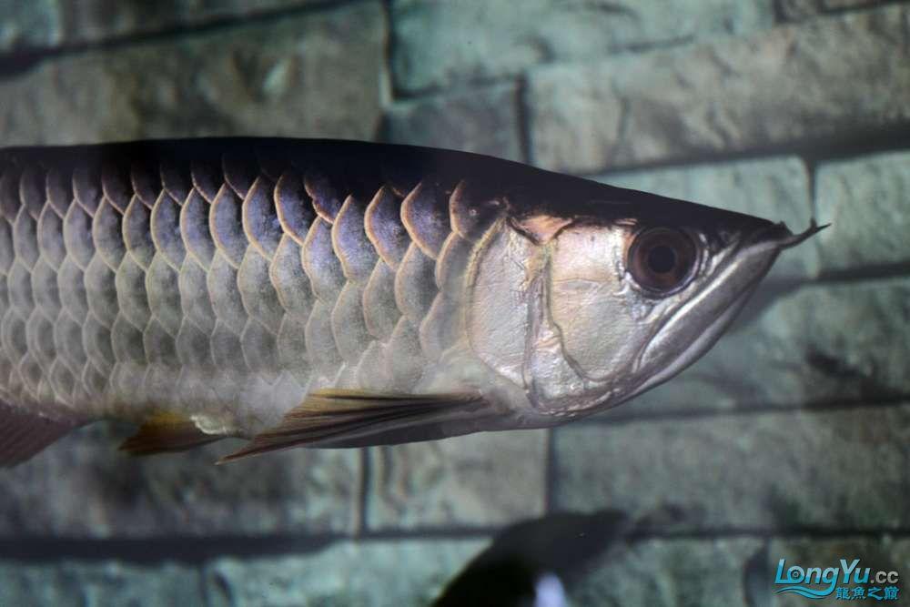 一不小心悲剧了43已开始恢复吃食凶狠状态良好 北京龙鱼论坛 北京龙鱼第5张