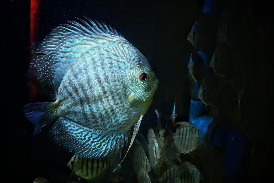 漂亮的蛇纹神仙鱼 北京观赏鱼 北京龙鱼第3张