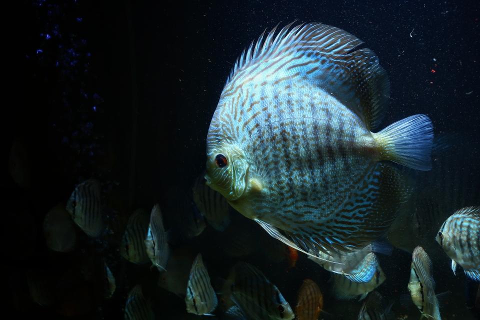 漂亮的蛇纹神仙鱼 北京观赏鱼 北京龙鱼第1张