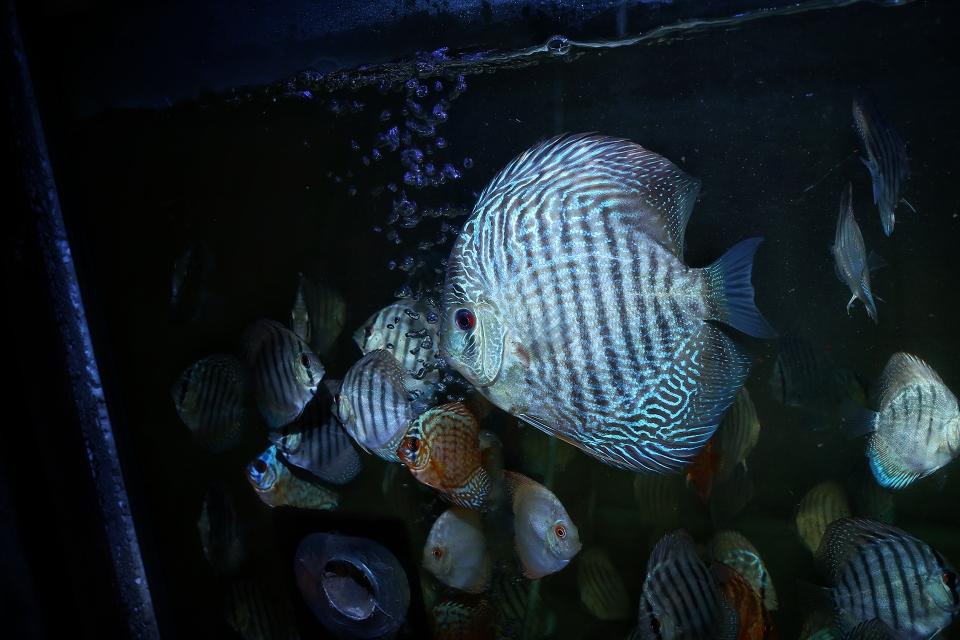 漂亮的蛇纹神仙鱼 北京观赏鱼 北京龙鱼第4张