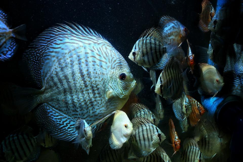 漂亮的蛇纹神仙鱼 北京观赏鱼 北京龙鱼第5张