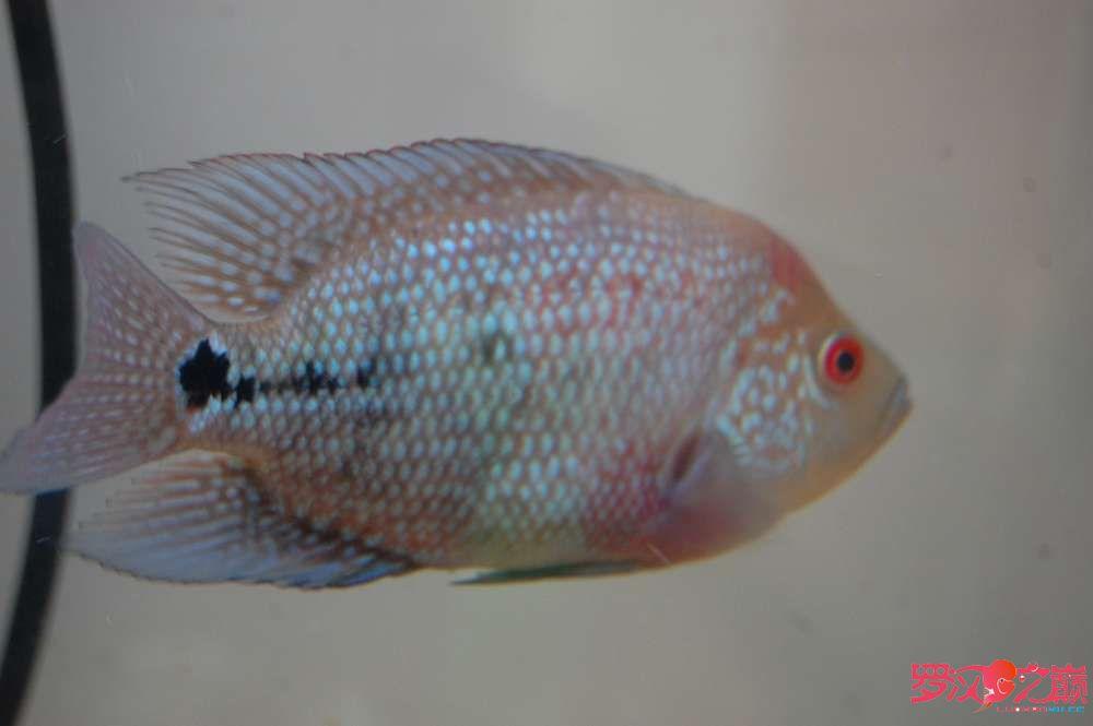 北京白金龙鱼和银龙鱼求鉴定品种及前途 鱼有10厘米左右