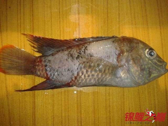 北京 观赏鱼 批发市场看看这是掉鳞么? 北京观赏鱼 北京龙鱼第1张