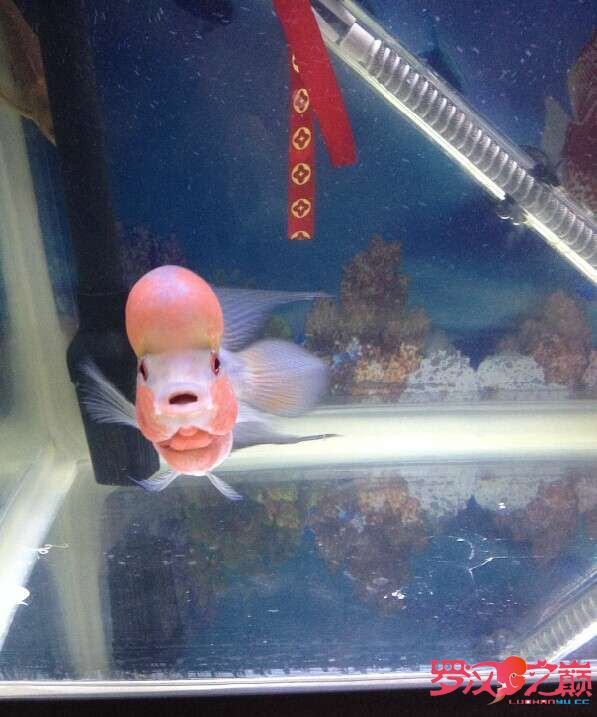 北京哪个水族店有直纹飞凤鱼大鱼缸小鱼缸养2个月了200元罗汉求爆头啊北京黑白皇冠魟鱼饲养