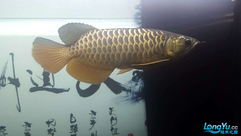 北京三湖慈鲷鱼各位大侠帮看看我这条是什么品种,品质怎样 北京观赏鱼 北京龙鱼第3张