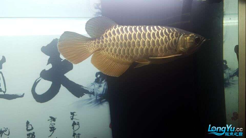 北京三湖慈鲷鱼各位大侠帮看看我这条是什么品种,品质怎样 北京观赏鱼 北京龙鱼第2张